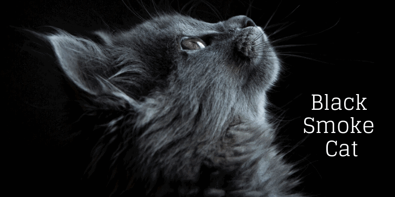 black smoke cat featured image