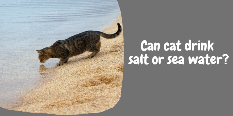 Can cat drink salt or sea water