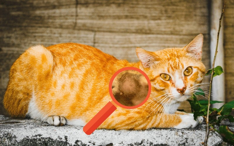 Will cat abscess heal on its own