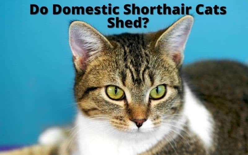 Do Domestic Shorthair Cats Shed_
