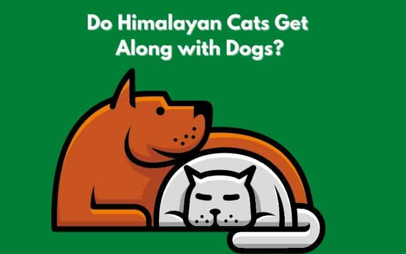 Do Himalayan Cats Get Along with Dogs_