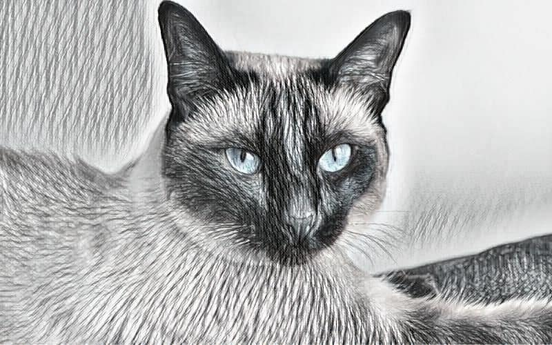 When do Tonkinese cats stop growing?