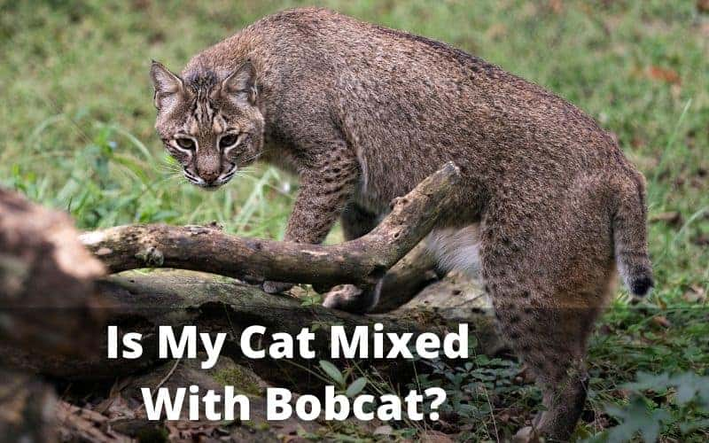 is my cat mixed with bobcat
