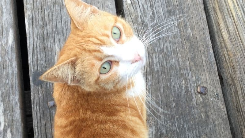 Can Cats Have Mental Disabilities?
