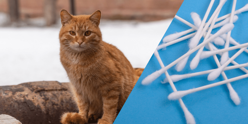 how to help a cat in heat q tip method