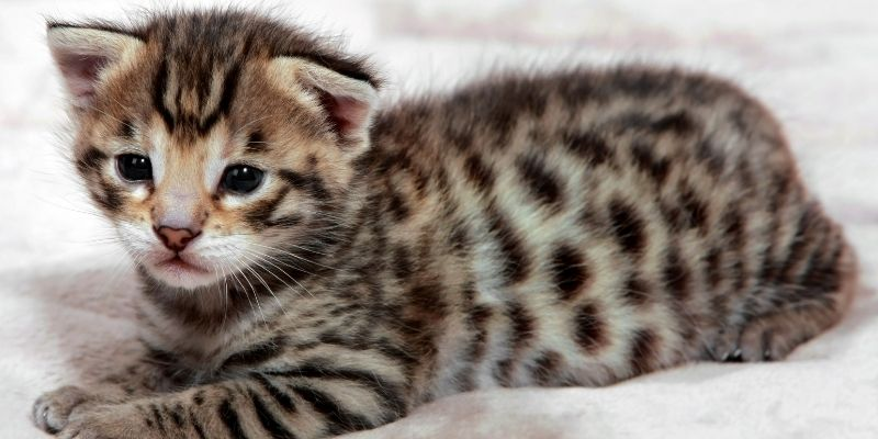 Are Savannah Cats Good With Kids?