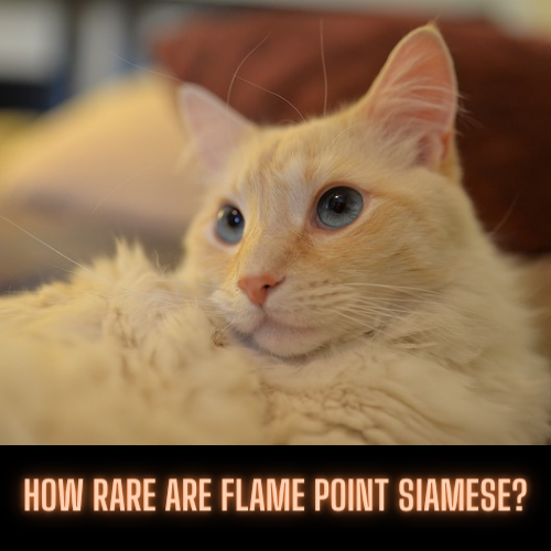 How Rare Are Flame Point Siamese