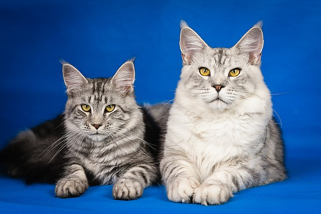 are all maine coon cats big