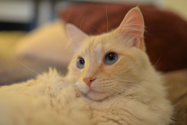 are flame point siamese hypoallergenic