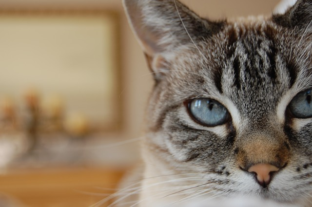 are lynx point siamese cats hypoallergenic