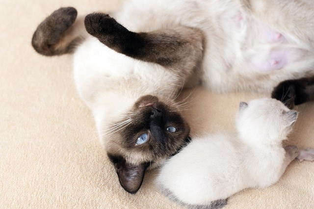 are ragdolls related to siamese