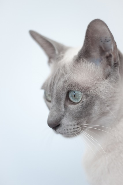 can tonkinese cats go outside