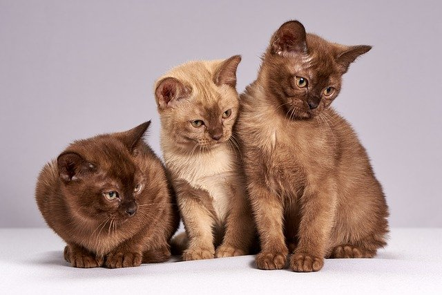 do burmese cats get along with other cats