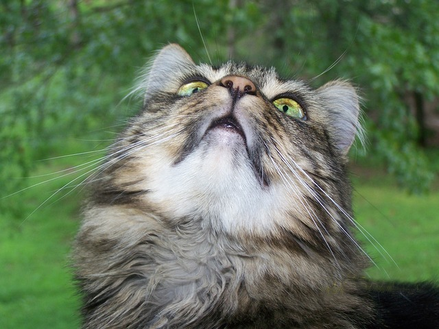 do maine coon cats meow