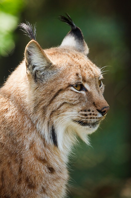 domestic cats that look like lynx