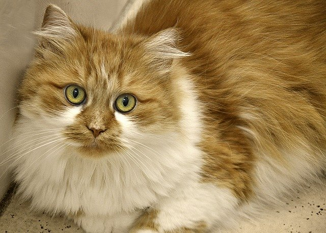 domestic cats with manes