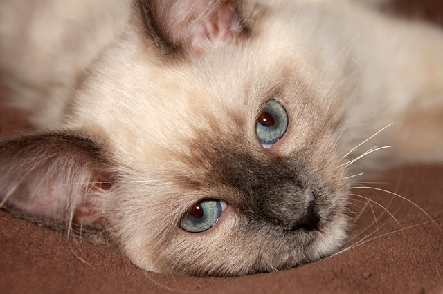 do ragdoll cats have health problems