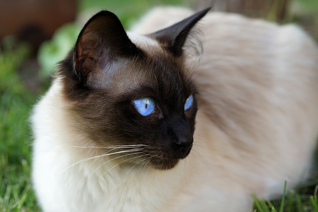 do siamese cats get darker with age