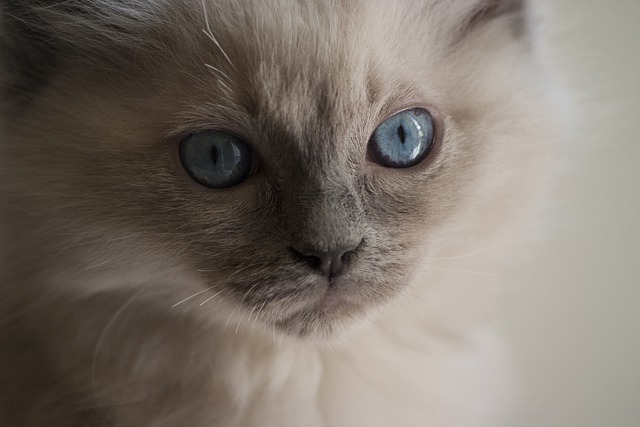 is it better to get a male or female ragdoll cat