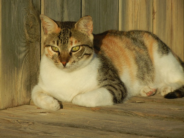 why do calico cats get fat