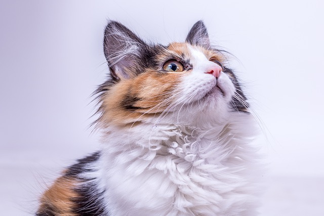 why do calico cats meow so much